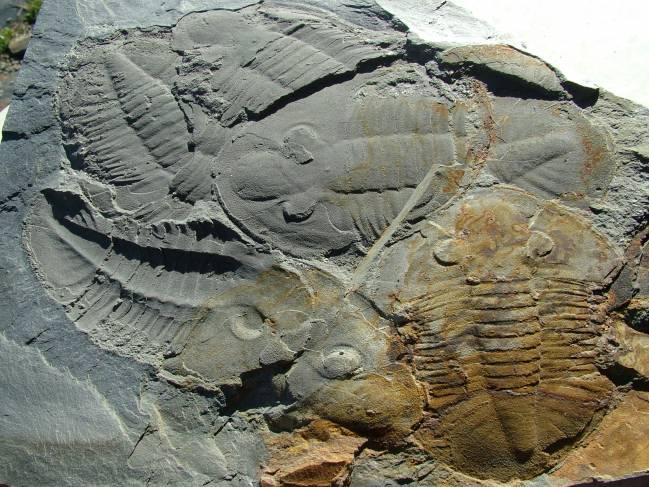 Algunos de los fósiles de trilobites encontrados en Portugal