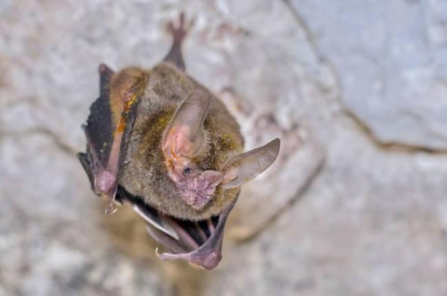 Murciélago macho