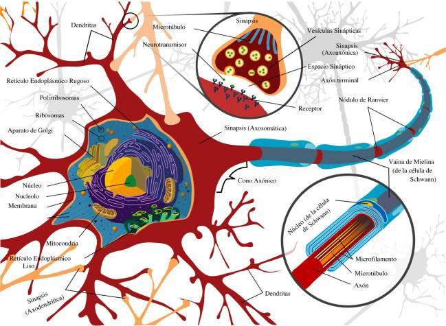 Esquema completo de una neurona