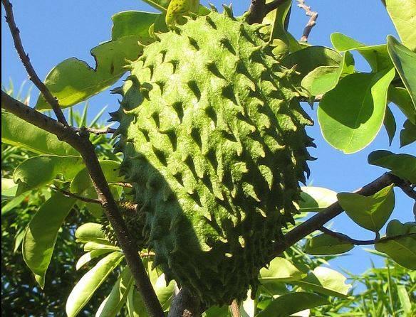 fruto de guanábana