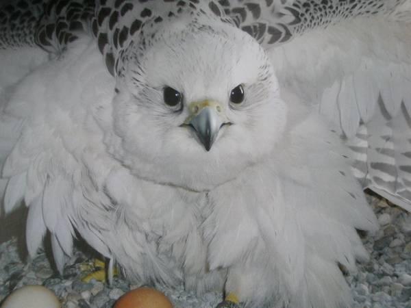 Ejemplar de halcón gerifalte en uno de los centros de Roc Falcon.