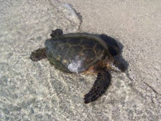La sobreexplotación de la tortuga verde en las islas Caimán causó la práctica desaparición de las poblaciones nidificantes. Foto: CTC