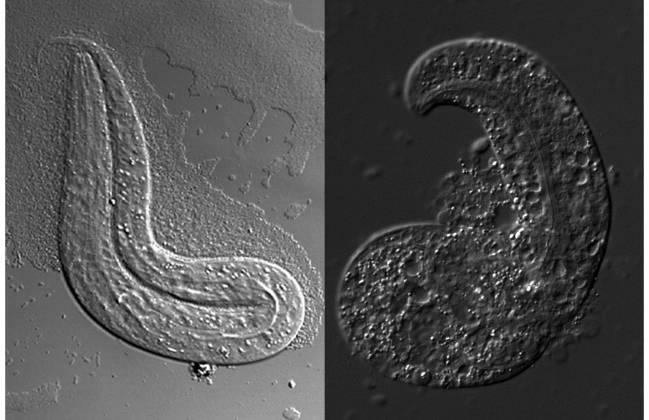 El nematodo modelo de enfermedad sufre de problemas graves de desarrollo