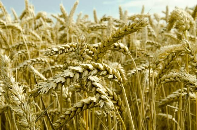 Espigas de trigo