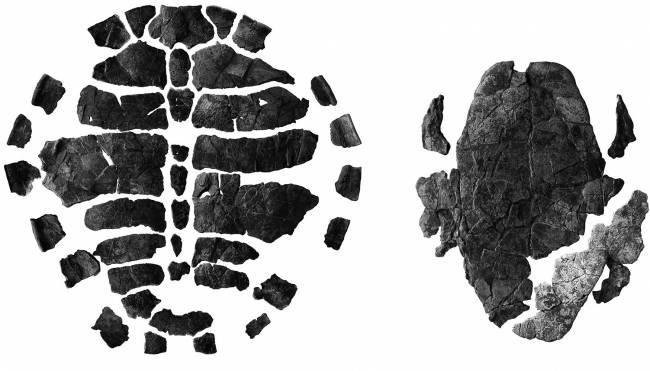 Fotografías del caparazón dorsal y ventral de la nueva tortuga (extraídas del artículo).