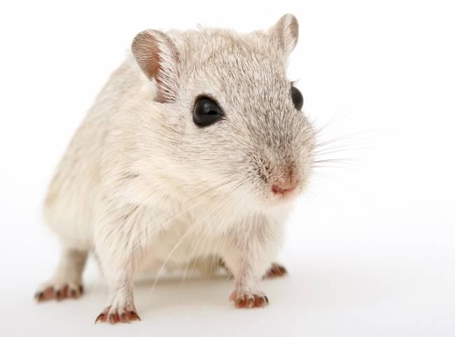 Se han utilizado unas 1.500 ratas genéticamente heterogéneas. / Lockstockb