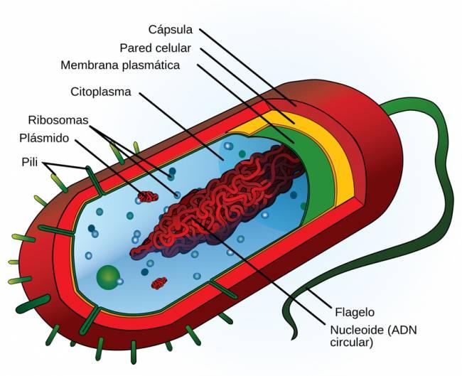Estructura celular de una bacteria, típica célula procariota.