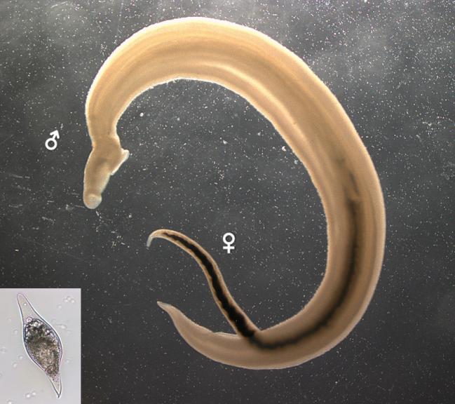 Pareja de 'Schistosoma bovis' adultos