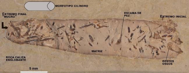 Fotografía de una hez fósil cilíndrica de Las Hoyas que podría ser atribuido a un animal anfibio o terrestre carnívoro