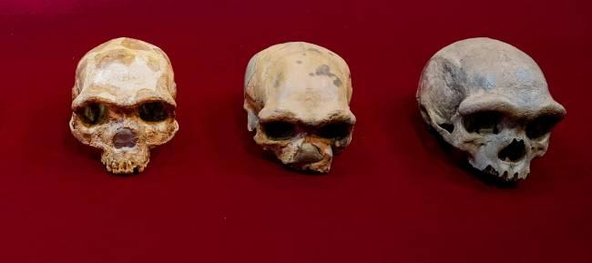 Cráneos comparados durante el estudio: cráneo de Jinniushan, de Dali y de Harbin