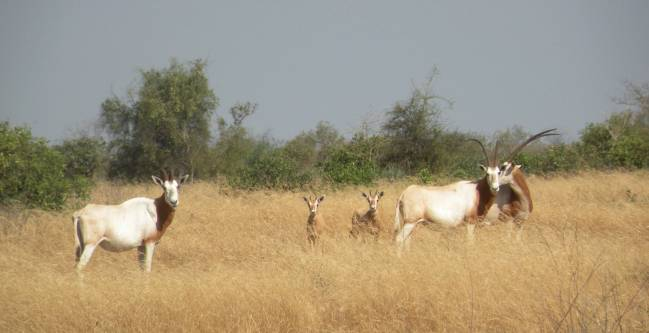 Oryx de cuernos de cimitarra en la reserva Fauna de Ferlo Norte (Senegal) /Teresa Abáigar.CSIC.