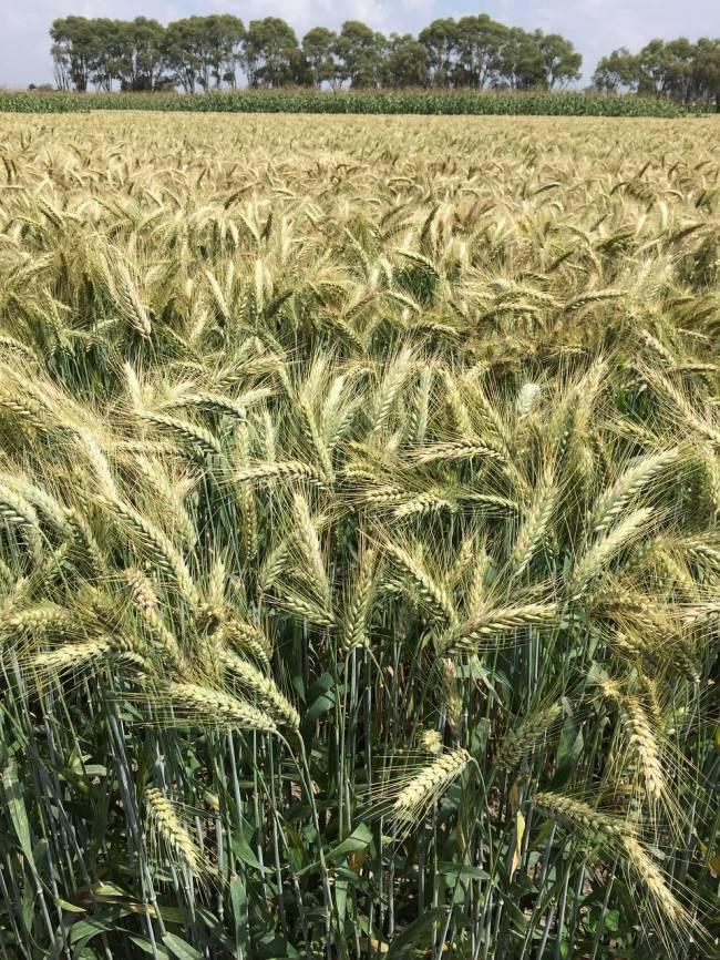 Las variedades locales de trigo suponen un reservorio de variabilidad genética natural.