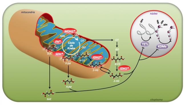 ciclo de Krebs - imagen CNIO