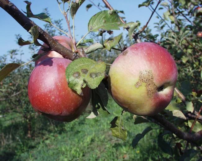 Manzanas afectadas por moteado