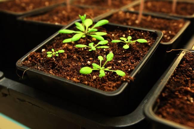 Planta objeto de la investigación genómica, la Arabidopsis thaliana.