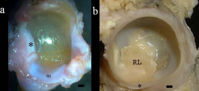 Identifican un menisco en la cadera de los anfibios