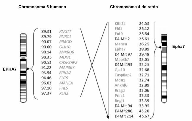Regiones ortólogas del genoma humano y de ratón