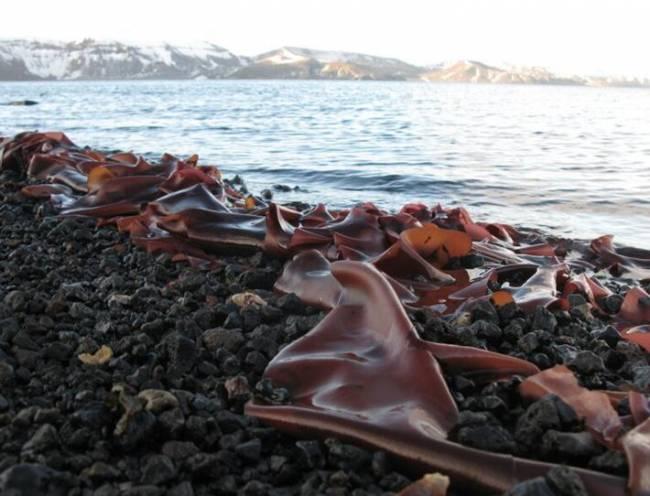 Actiquim-II quiere estudiar el papel de los productos naturales de origen marino en los ecosistemas marinos de la Antártida para valorar su potencial farmacológico