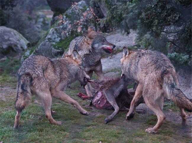 Un equipo científico del Centro Mixto UCM-ISCIII y la Universidad de Nevada analiza las marcas dejadas en los huesos por lobos actuales para compararlas con el registro fósil