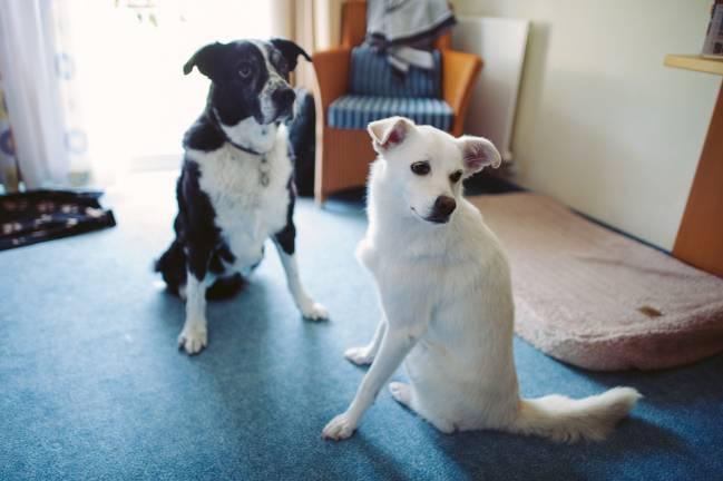 Los perros actuales tienen un origen europeo. / O. Thalmann