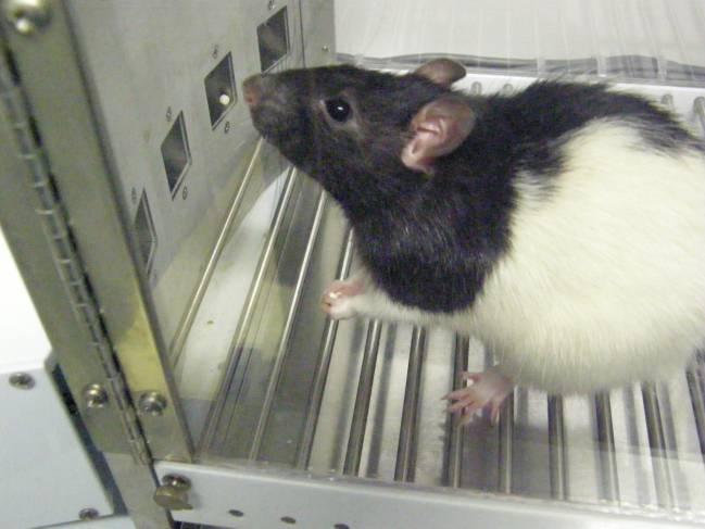 Rata realizando pruebas cognitivas.