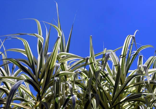 La caña (Arundo donax) es una planta invasora capaz de crecer y reproducirse en un amplia franja de condiciones ambientales. Imagen: Antoni Serra, CRBA-IRBio