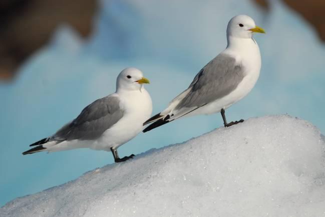 Dos aves marinas que habitan en el Ártico