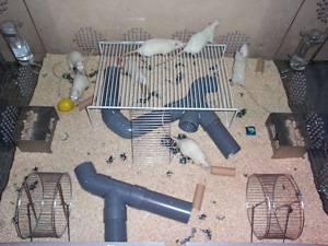 Ratas en condiciones de enriquecimiento ambiental. UCM.