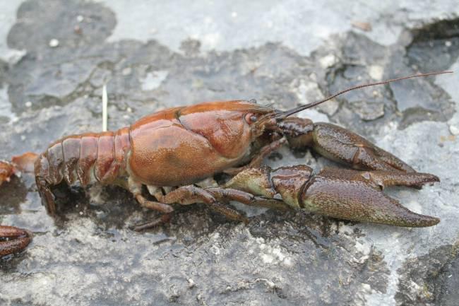 El cangrejo de río está protegido en España