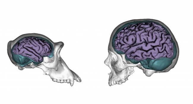 Reconstrucción tridimensional de un cráneo de chimpancé y de un humano, mostrando sus moldes endocraneales (en turquesa) y cerebros (en morado).