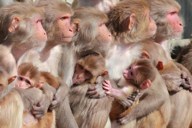 Hembras y crías de macacos