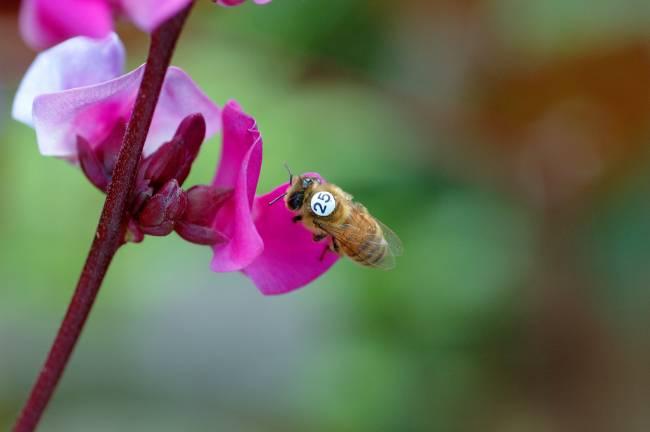 Plano detalle de una de las abejas que participó en los experimentos del estudio que publica Science, marcada con el número 25