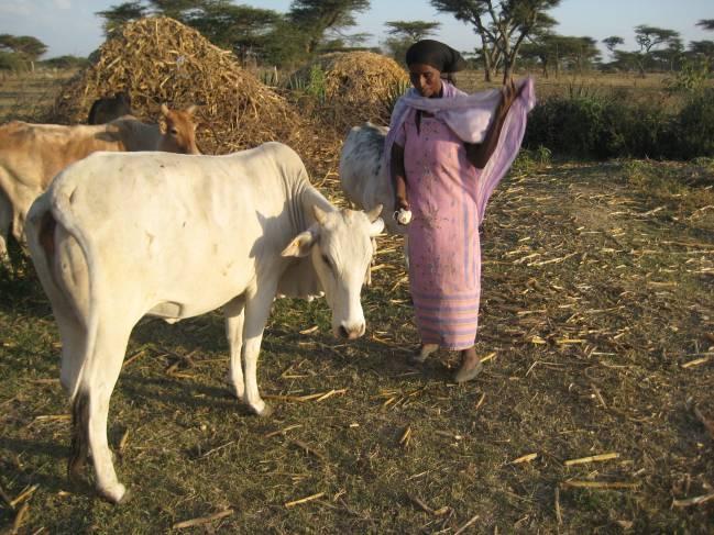 El virus de la Fiebre del valle del Rift puede ocasionar daños importantes en el ganado y también en humanos. Imagen: Azulnocturnal