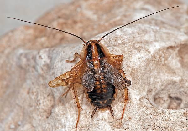 La eliminación de miR-2 impide la metamorfosis y el insecto en lugar de producir un adulto muda a individuos monstruosos intermedios entre una ninfa y un adulto (Foto: Albert Masó)