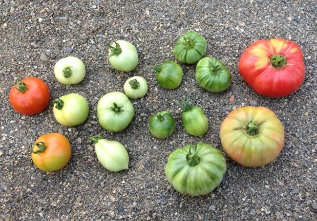 Diferentes tipos de tomates