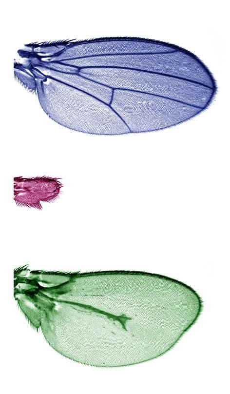 Ala de Drosophila melanogaster