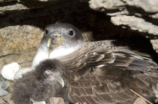 Un brote infeccioso en una colonia de aves oceánicas como la pardela cenicienta podría tener efectos devastadores. Foto: Raül Ramos, UB-IRBio