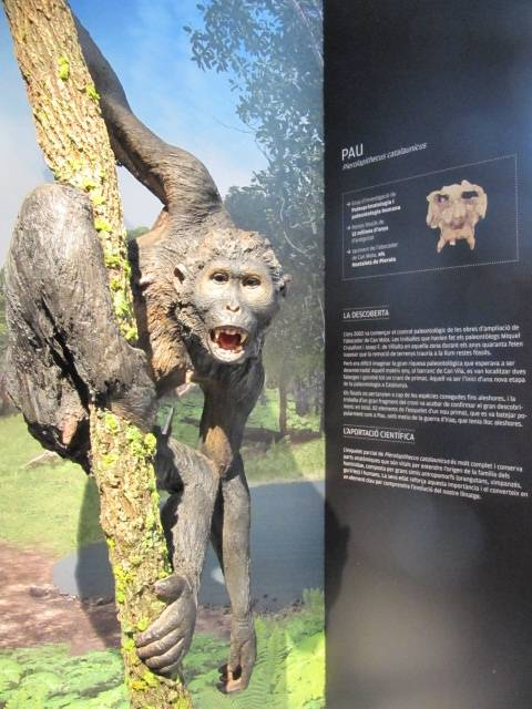 Reconstrucción de Pau ('Pierolapithecus catalaunicus') en el Museu del ICP./ Wikipedia