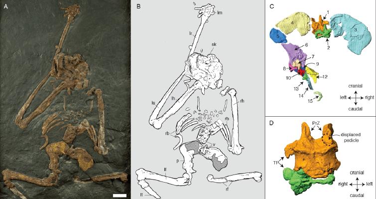 Esqueleto de Oreopithecus bambolii y detalles de la pelvis y las vértebras lumbares