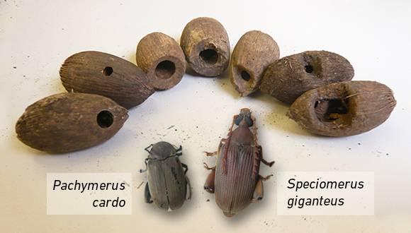 Las dos especies de gorgojo estudiadas y las semillas de palmera que infectan