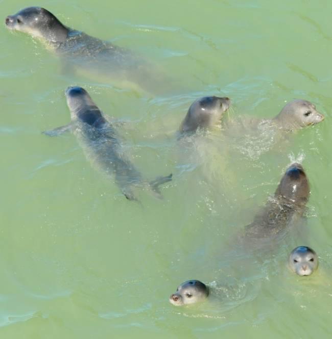 Foto focas monje F.CBD-Habitat