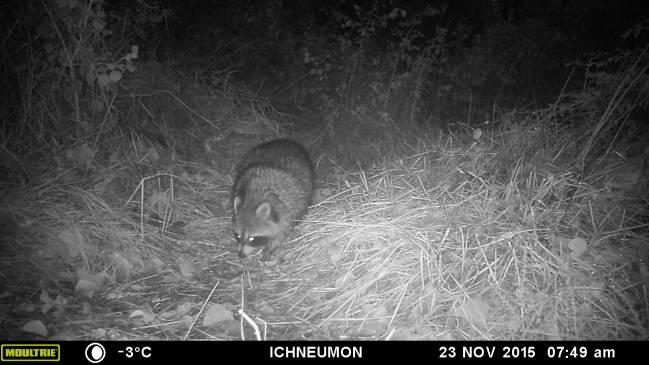Un mapache grabado por una cámara de fototrampeo