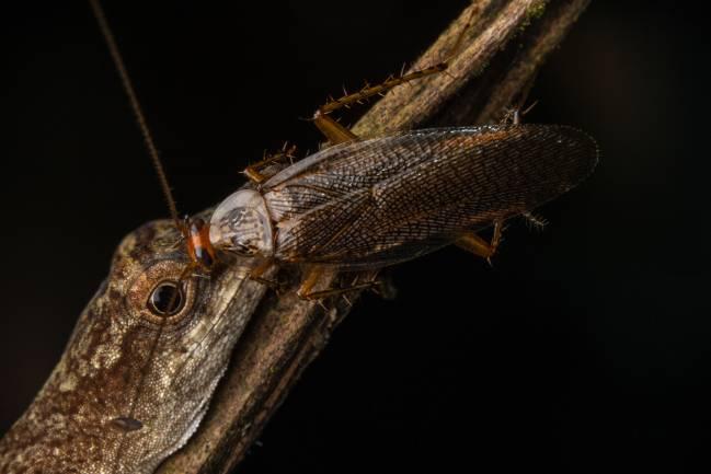 Cucaracha sobre una lagartija