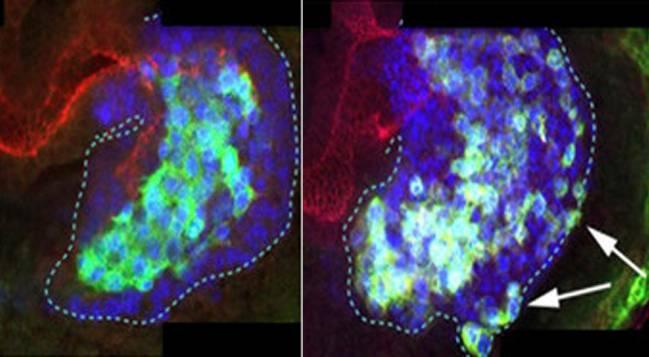 En un embrión de Drosophila en desarrollo, (arriba) E-Cadherina ayuda a mantener las células juntas para facilitarles una migración coordinada; (abajo) y sin E-Cad las células desorganizadas. (J Casanova lab)