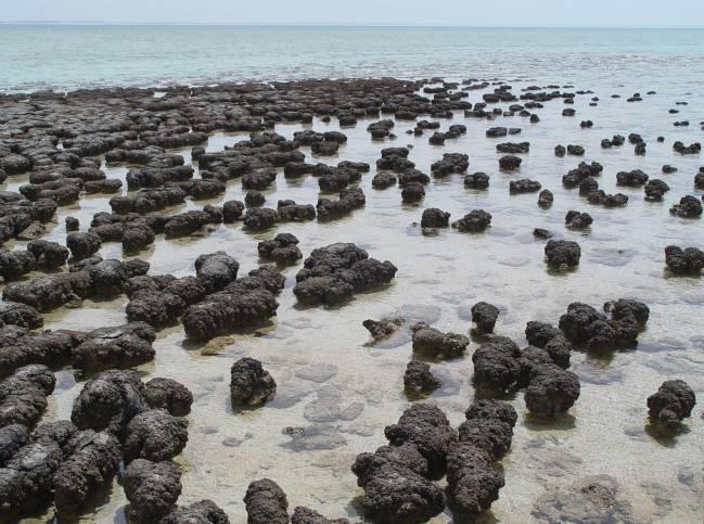 Estromatolitos en la Bahía Shark, Australia. / Wikipedia