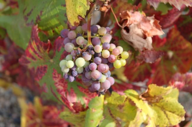 Planta de la vid en otoño en La Rioja.
