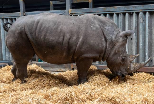 Hembra de rinoceronte