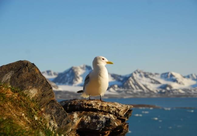 El trabajo se ha centrado en el estudio de veintinueve especies de aves árticas en 36 ubicaciones distintas. Fotografía: Sébastien Descamps