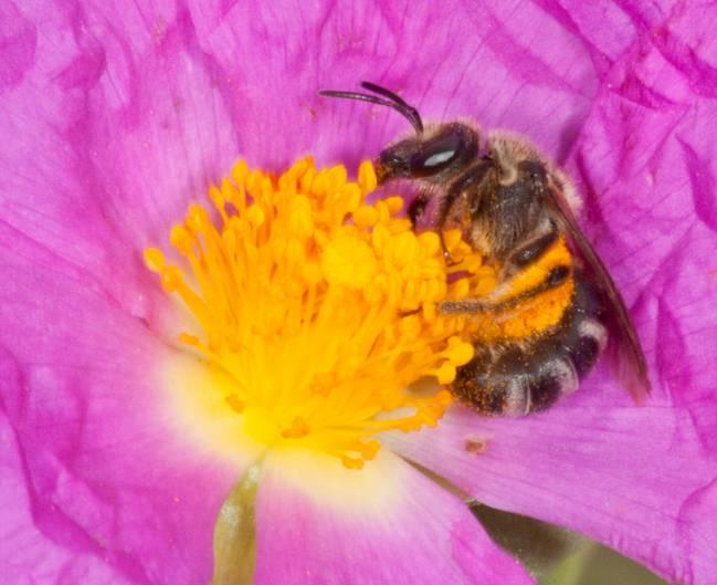 Abeja en un flor de estepa (genero Cistus)