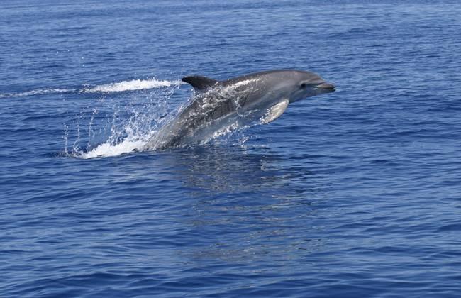 Un ejemplar de delfín mular en el Puerto de Andratx de Mallorca. / Txema Brotons. A. Tursiops.